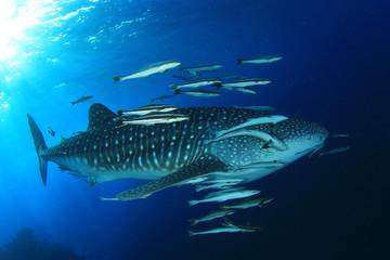 Fototapete - Whale Shark