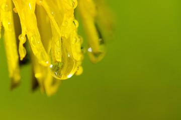 Printed roller blinds Narcissus Wassertropfen