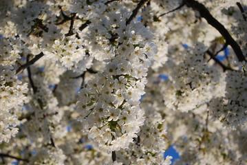 Obraz Kwiat czereśni - fototapety do salonu