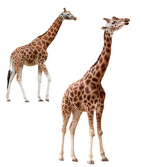 Poster de jardin Girafe Two giraffes in different positions isolated with clipping path
