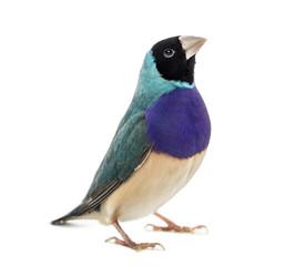 Gouldian Finch, Erythrura gouldiae