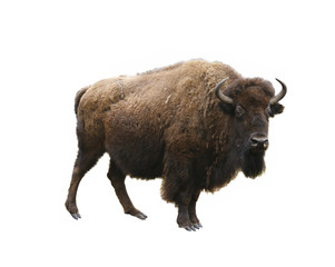 Tuinposter Bison european bison isolated on white background