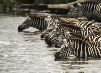 Aluminium Prints Zebra Zebra drinking in the river, Serengeti, Tanzania, Africa