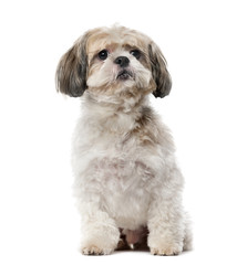 Shih Tzu (8 years old) in front of a white background