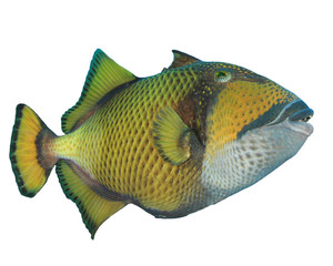 Tropical fishisolated on white: Titan Triggerfish