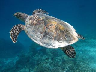 Морская Мальдивская Черепаха