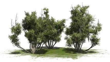 african olive shrub - isolated on white background