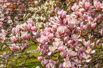 Pink magnolia branches.