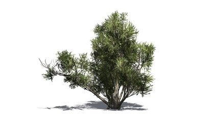 african olive shrub - isolated on white background