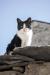 White and black Cat On The Roof