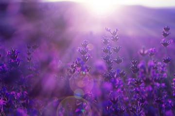 field lavender flowers