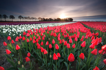 Wall Mural - sunrise on red tulip field