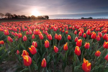 sunrise over red tulip field
