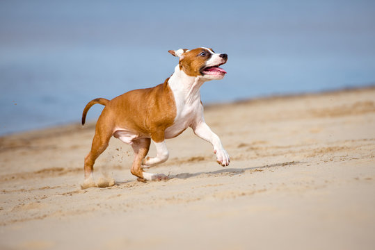 american staffordshire terrier puppy playing on a beach