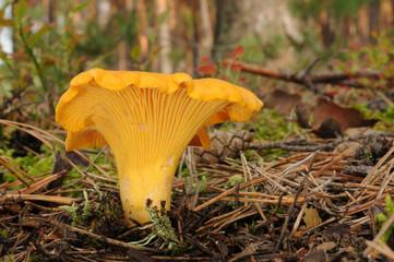 Cantharellus cibarius (golden chanterelle or girolle)