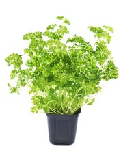 Parsley in flowerpot on a white background