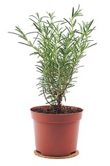 Rosemary in flowerpot on a white background