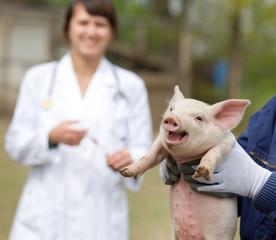 Veterinarian care of piglet