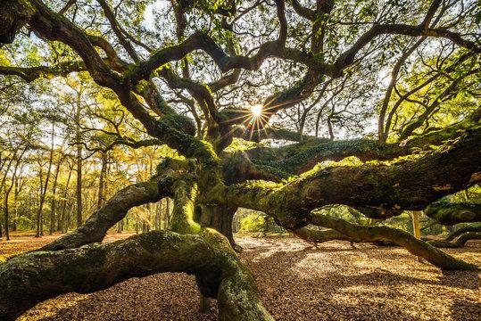 Angel Oak tree near Charleston