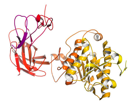 Human pancreatic lipase (HPL) enzyme, in complex with colipase.