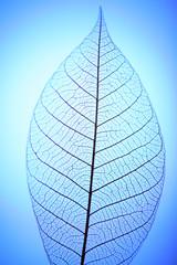 Keuken foto achterwand Decoratief nervenblad Skeleton leaf on blue background, close up