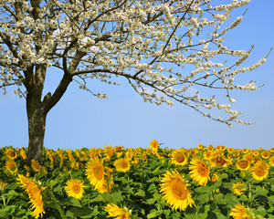 Blooming cherry tree in sunflower field. Spring landscape.
