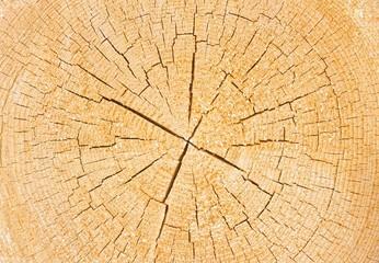 Baum Querschnitt