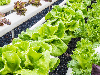 Fresh hydrophonic vegetable