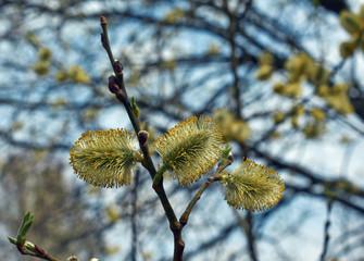 Blossom trees  .