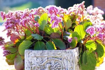 Topfpflanze mit rosa Blüten