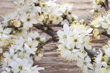 Cherry blossom on wood
