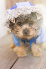 Sad glance of a yorkshire terrier in hood