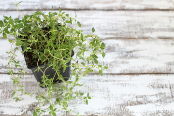 Thym plant in a pot on boards painted white