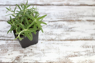Rosemary plant in a pot on boards painted white