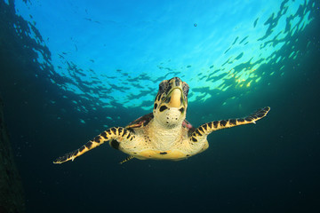 Hawksbill Sea Turtle underwater