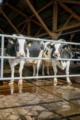Zwei Milchkühe im Rindviehstall blicken durch ein Gitter