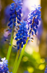 Blue grape hyacinths blooming in the garden under the sunlight