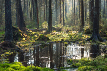 Natural coniferous stand of Bialowieza Forest Landscape Reserve