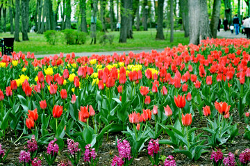 Park in the city of Gomel. Flowers tulips