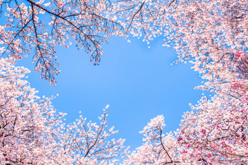 Wall Mural - Rosa Kirschblüten vor blauem Himmel