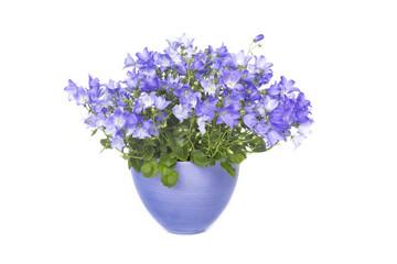 Bluebells pot