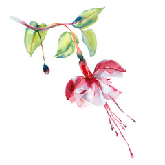 Watercolor flower. Red fuchsia.