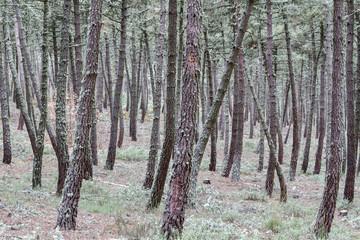 Bosque de Pino Negral. Pinus pinaster.