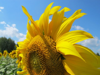 Sunflower (Helianthus annuus) flower against a blue sky