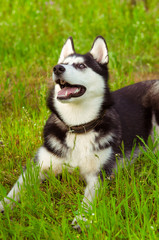 Husky dog on green grass in summer