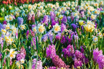 Fototapete - Colorful spring flowers in the Keukenhof park