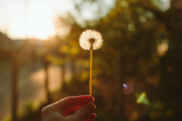 Sunset dandelion in the hand