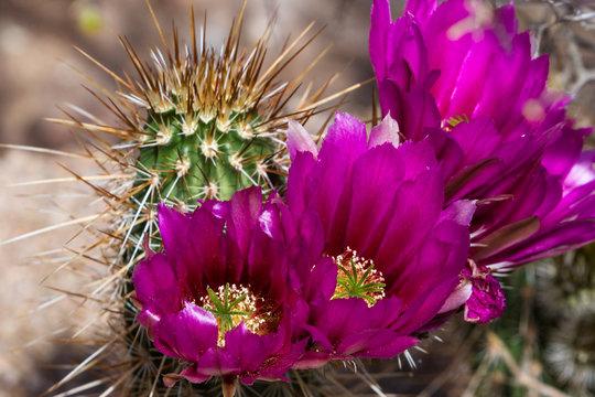 Blooming desert cactus