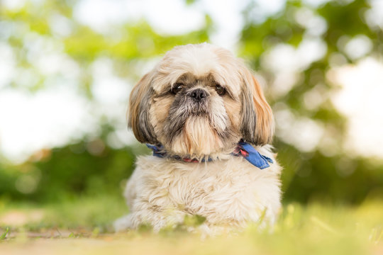 Shih tzu dog lying in garden