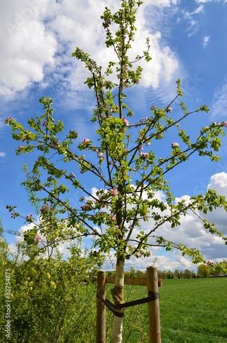 junger apfelbaum an pf hlen angebunden stockfotos und lizenzfreie bilder auf. Black Bedroom Furniture Sets. Home Design Ideas
